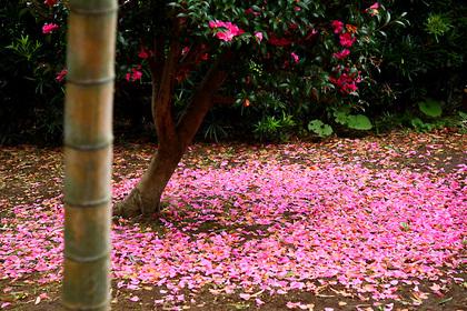 椿の落ち花