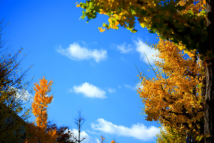 街路樹の秋