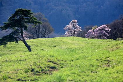 西蔵王放牧場