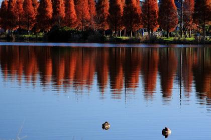 メタセコイア 水元公園