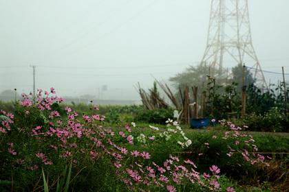 コスモス 霧