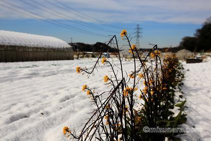 菜の花 雪