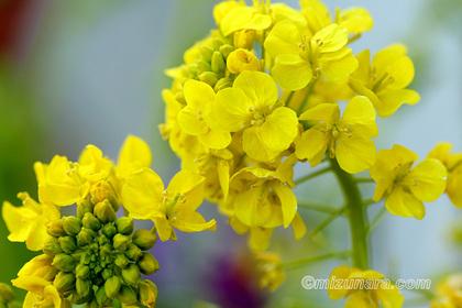 千葉市花の美術館 菜の花