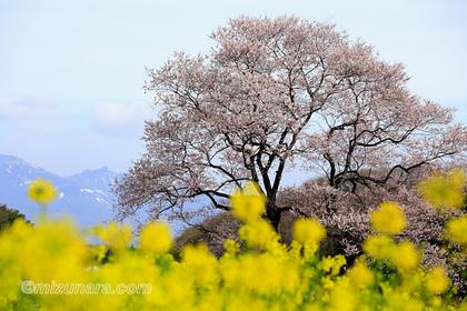 本郷のエドヒガン 桜