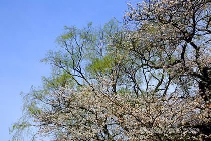 桜 遊行柳