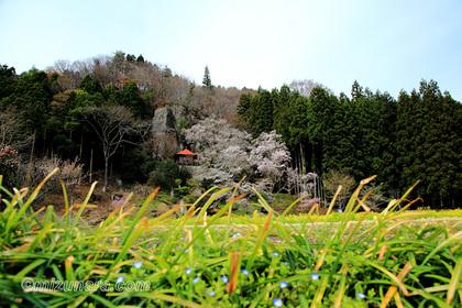 堂の下の岩観音 桜