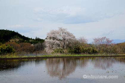 桜 那須町大和須