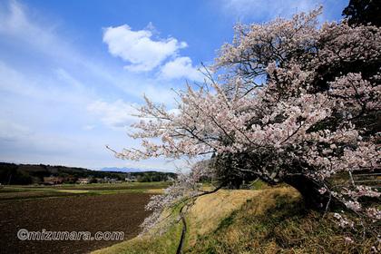 大田原市中野内 桜