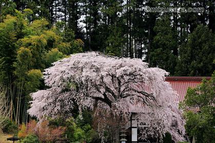 光厳寺のしだれ桜 桜