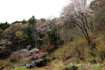入小滝の山桜 桜