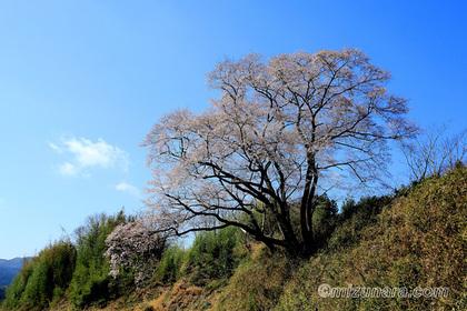 大子町 桜 舘の下の桜