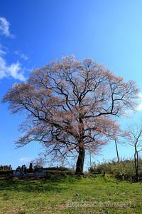 上岡のエドヒガン 桜