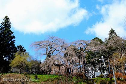 桜 生瀬地蔵桜