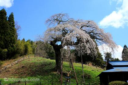 外大野しだれ桜 桜