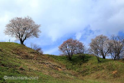 大子ふれあい牧場 桜