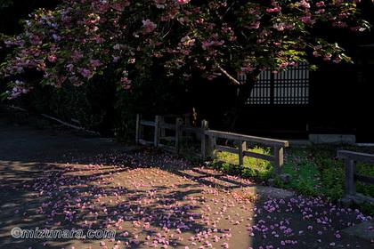 桜 法輪寺