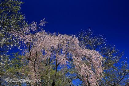 桜 烏帽子山公園