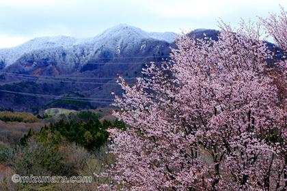 桜 西蔵王野草園