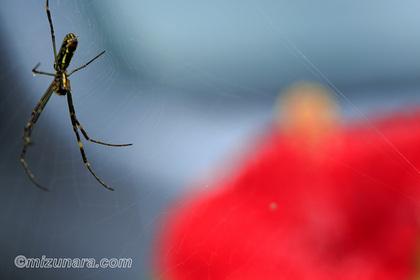 ハイビスカス 蜘蛛