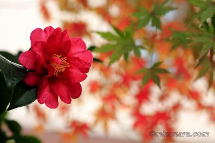 カエデ 山茶花 紅葉