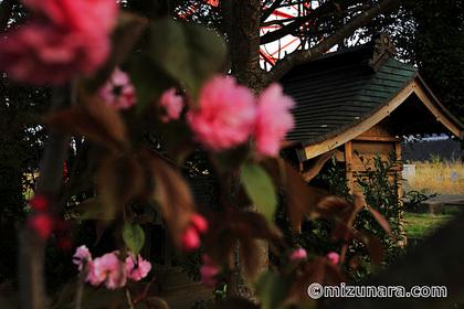 ボタン桜 弁天さま