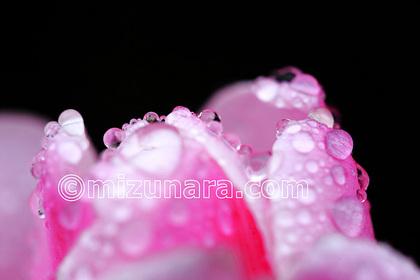 チューリップ 雨粒