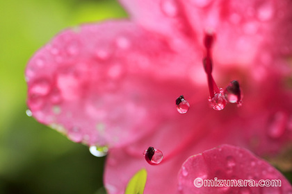 サツキ 雨滴