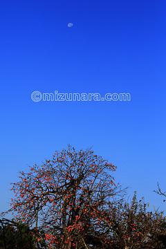 上山市 月 柿