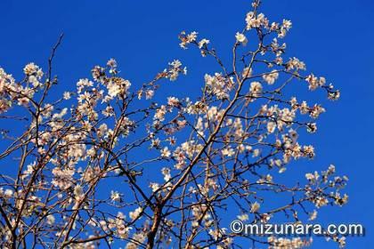 十月桜 桜