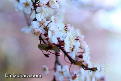 三陽メディアフラワーミュージアム 桜