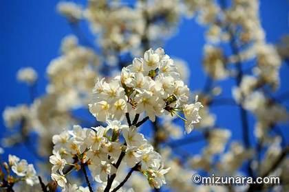 オオシマザクラ 三陽メディアフラワーミュージアム 桜
