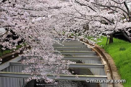 桜 草野水路