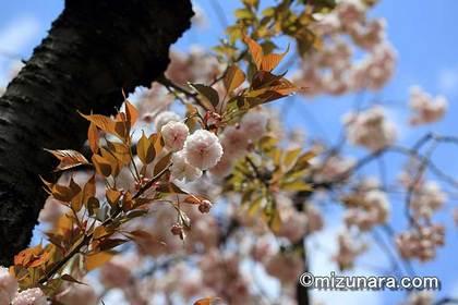 ボタン桜 桜
