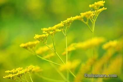 オミナエシ 千葉市花の美術館 三陽メディアフラワーミュージアム