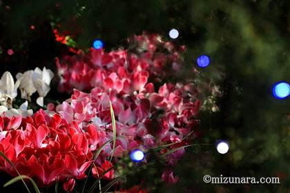 シクラメン 花の美術館