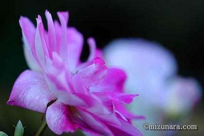 バラ 花の美術館