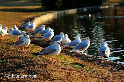 ユリカゴメ 稲毛海浜公園