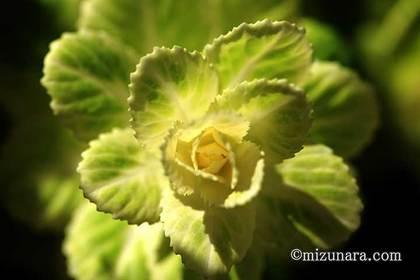 ハボタン 三陽メディアフラワーミュージアム 花の美術館