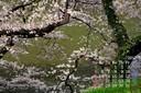 カレンダー壁紙 北の丸公園 千鳥ヶ淵 桜