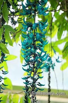 ヒスイカズラ 花の美術館