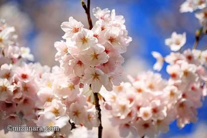 弁天さま 桜