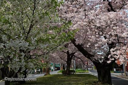 新検見川グリーンベルト 桜