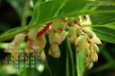 2017年5月 カレンダー壁紙 キフゲットウ 千葉市花の美術館