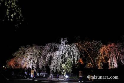 夜桜 桜 角館