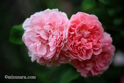 バラ 千葉市花の美術館