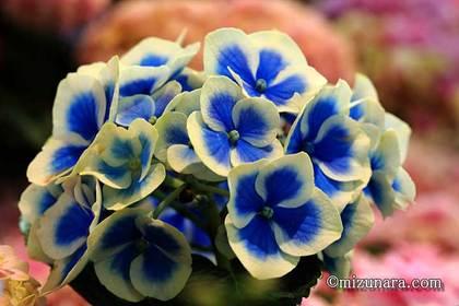 アジサイ 千葉市花の美術館