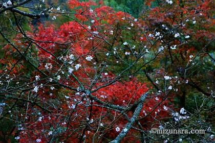 十月桜 川村記念美術館 紅葉