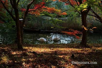 川村記念美術館 白鳥 紅葉