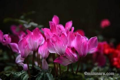 シクラメン 千葉市花の美術館