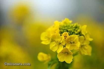 カンザキハナナ 千葉市花の美術館 菜の花